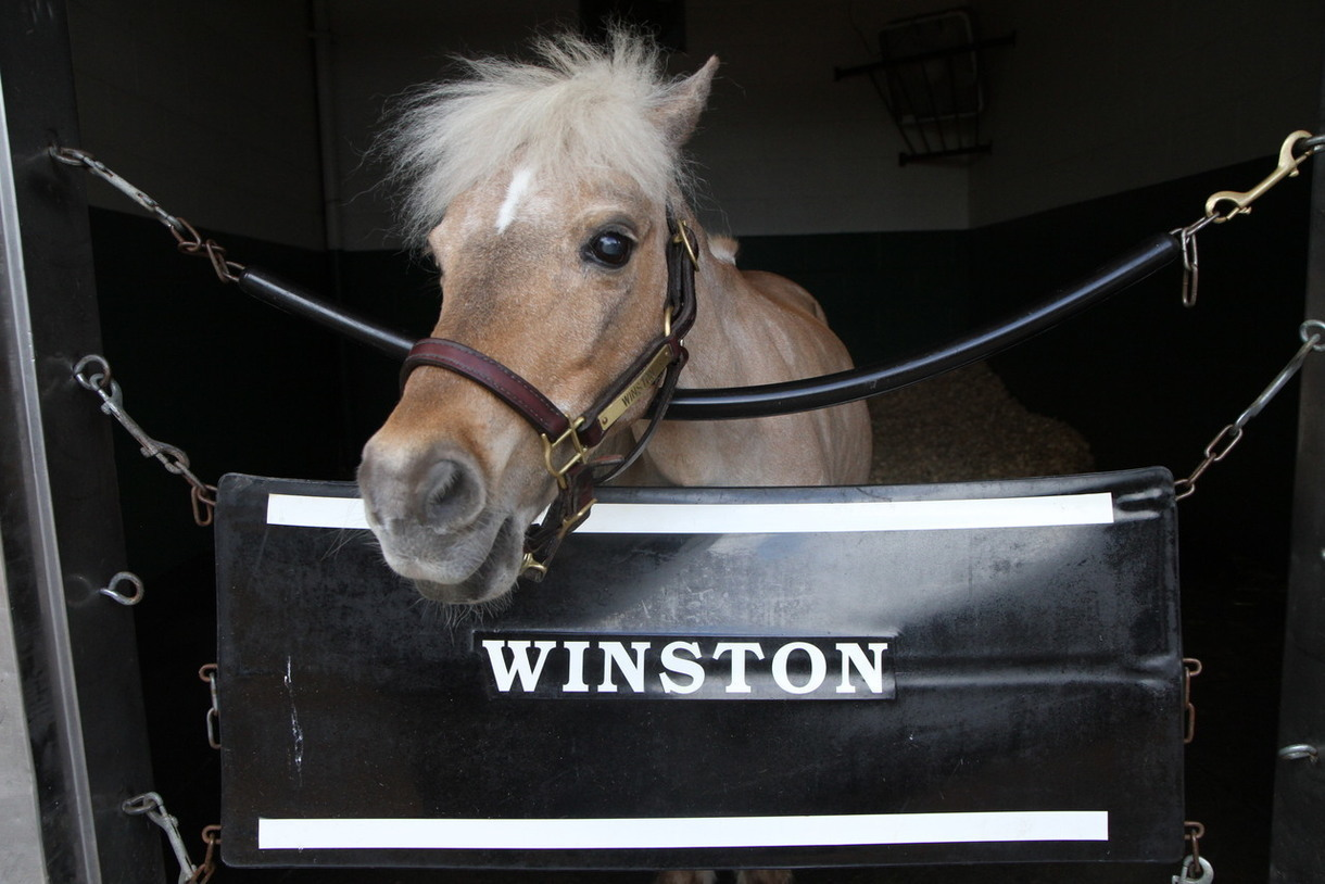 Winston, Kentucky Derby Museum Ambassador and Old Friends Retiree, Dies Unexpectedly at 24
